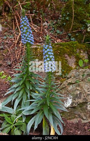 Ein paar Echium Fastuosum in flowerin felsigen Boden. - Stockfoto