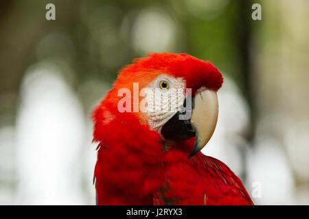 Der grün-winged Ara, auch bekannt als die rot-grüne Ara - großen, meist roten Ara der Gattung Ara, Südamerika heimisch. - Stockfoto