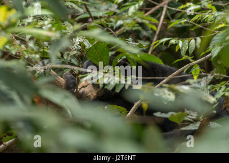 Malaienbären (Helarctos Malayanus) in einem Heiligtum in Borneo, Malaysia - Stockfoto