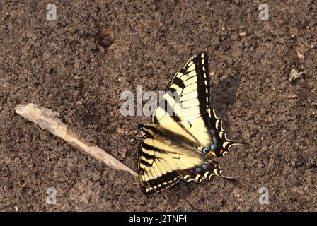 Kanadische Tiger Schwalbenschwanz Schmetterling Papilio Canadensis, mudding in der Clifford Lee Naturgebiet, Alberta Stockfoto