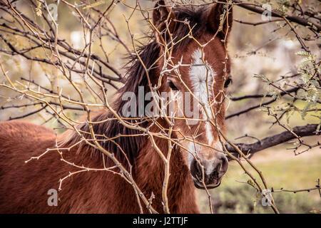 Nahaufnahme von jungen wilden Colt Phoenix Arizona Strauch durchsehen.  Diese Pferde sind Teil einer großen Band - Stockfoto