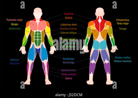Beschriftete Abbildung der Muskeln des menschlichen Rückens ...