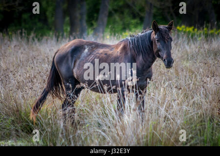 Letea Wald, Tulcea, Rumänien. wilde Pferde in das Donau Delta. natürliche Reservierung von letea. - Stockfoto