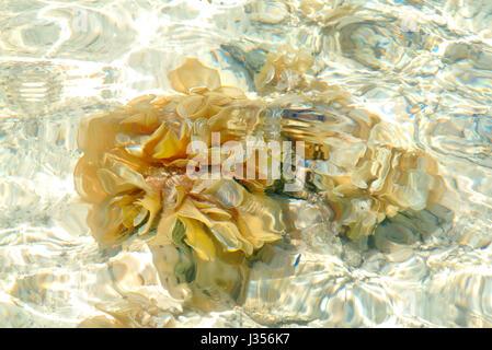 Gießen Sie die Pflanze, Sainte Anne Marine National Park, Insel Mahé, Seychellen. - Stockfoto