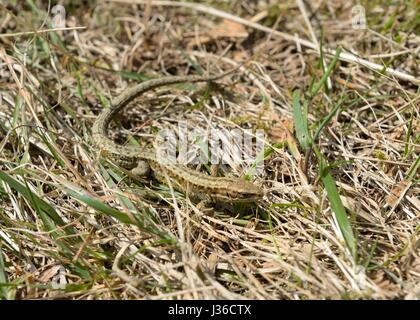 Eine gemeinsame Lizard (männlich) Zootoca vivipara in Schottland, Großbritannien, Europa