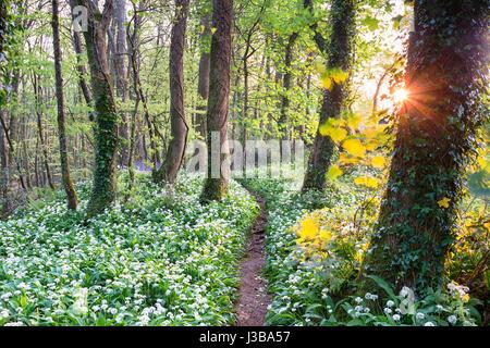 Ein Weg durch Bärlauch im Wald nahe Camborne in Cornwall