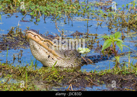 Alligator im Kreis B Bar-Reserve in Polk County in Lakeland Florida - Stockfoto