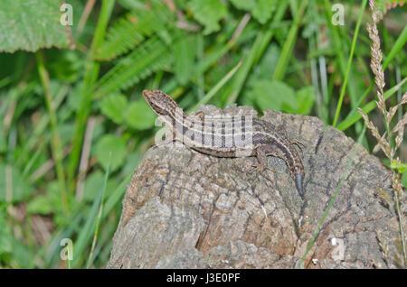 Gravide gemeine oder viviparöse Eidechse (Zootoca vivipara) mit kaudaler Autotomie. Lacertidae. Sussex, Großbritannien Stockfoto
