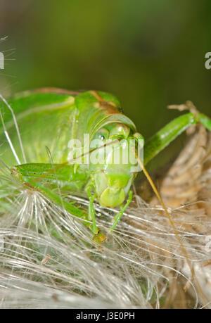 Super Green Bush - Kricket (Tettigonia Viridissima) Makro - Stockfoto