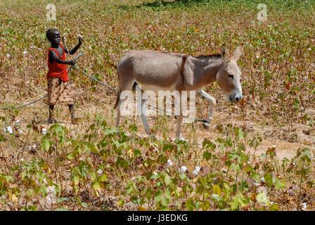 BURKINA FASO, Kinder arbeiten mit ihren Familien auf dem Bauernhof Smale-Skala, Mädchen mit Esel in Baumwolle Bereich - Stockfoto