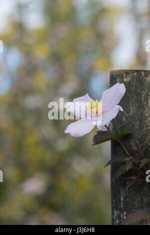 """Clematis Montana var Rubens """"Elizabeth"""". Clematis Montana Elizabeth Blumen in einem Garten. UK - Stockfoto"""