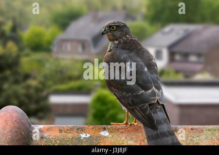 Eurasian Sparrowhawk / nördliche Sperber (Accipiter Nisus) thront auf Ridge Kachel des Hauses Dach und auf der Suche - Stockfoto