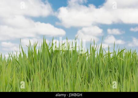 Frische grüne Gras schießt blauer Himmel - Metapher für 'Gras' Sprüche - 'Don't Lassen Sie das Gras wachsen unter - Stockfoto