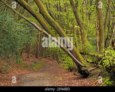 Frisches grünes Blattwerk auf schiefen Buche Bäume im Frühling Wald in Surrey, England UK