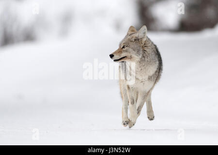 Kojote (Canis Latrans) auf der Flucht, laufen, im Winter, hoher Schnee, auf der Flucht, sieht erschrocken, verängstigt, - Stockfoto