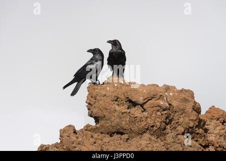 Kolkrabe, nördlichen Rabe, Roque de Los Muchachos, Tijarafe, La Palma, Spanien, Corvus Corax, - Stockfoto
