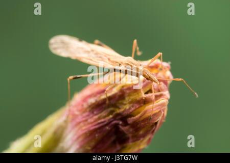 Kleine längliche Körper Käfer - Stockfoto