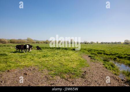 Rinder grasen auf einer grasigen Weide in Somerset, England - Stockfoto