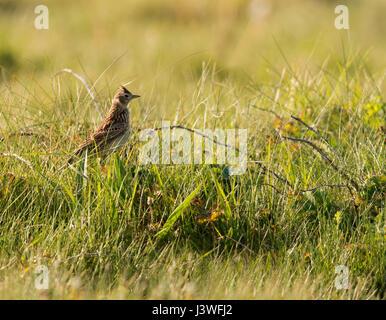 Eine Warnung Feldlerche (Alauda Arvensis) mit Haube angehoben, Pembrokeshire - Stockfoto