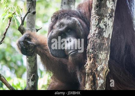 Vom Aussterben bedrohte Bornean Orang-Utans (Pongo Pygmaeus). Reife Männer haben die charakteristischen Wangenpolster. - Stockfoto