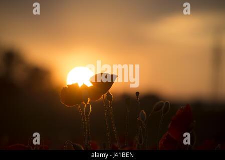 Mohnblumen im Gegenlicht vor Sonnenuntergang auf einem Feld in München Langwieder, München, Bayern, Deutschland - Stockfoto