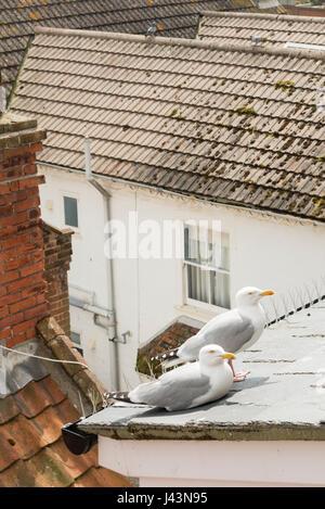 Zwei Möwen sitzen auf einem Hausdach Stockfoto