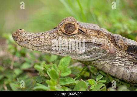 Portret van Een Brilkaaiman in Het Gras; Porträt einer brillentragende Kaiman im Gras; - Stockfoto