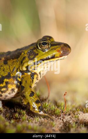 Foto von einem grünen Frosch mit ranavirus - Stockfoto
