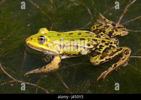 Essbare Frosch im Wasser - Stockfoto