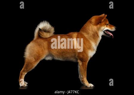 Pedigreed rote Shiba Inu Hund stehend auf isolierte schwarzer Hintergrund - Stockfoto