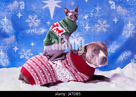 Urlaub Porträt von einem Pitbull und eine Sphynx-Katze in Weihnachtspullover mit blauen Schnee Flocke Hintergrund - Stockfoto