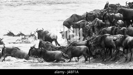 Gnus (Connochaetes Taurinus) geben Sie einen Fluss auf ihrer Völkerwanderung. Masai Mara, Kenia - Stockfoto