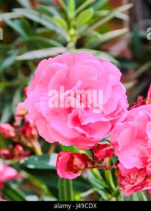 Rosa Blüten von Nerium Oleander, immergrüner Strauch, Familie Lobelia. - Stockfoto