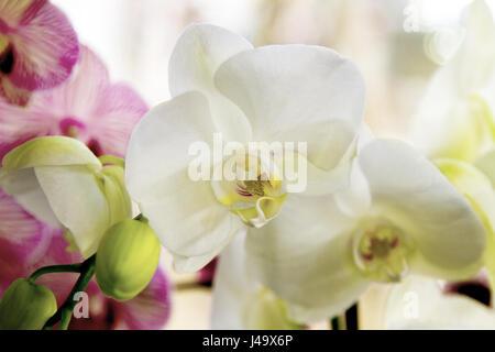 Weiße Orchidee Blume mit gelben Zentrum auf weißem Hintergrund ...