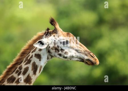 Masai-Giraffe aus nächster Nähe Stockfoto