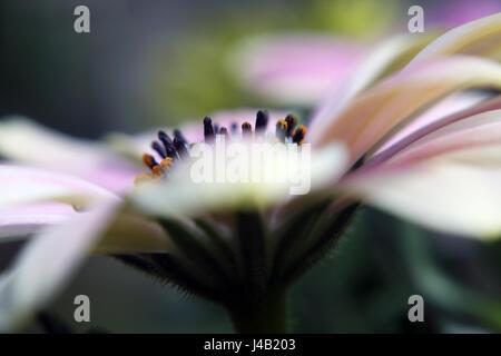 Osteospermum, mit Lensbaby verschwommenen Effekt genommen. - Stockfoto