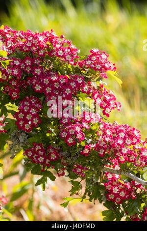 Crataegus Laevigata Feder Blume Laubbaum rosa rot Weißdorn Bäume ...