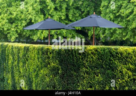 Ordentlich getrimmt Leylandii Hecke mit schwarzen Garten Sonnenschirme - Cupressus × leylandii - Stockfoto