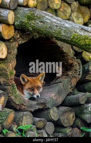 Rotfuchs (Vulpes Vulpes) ruhen im hohlen Baumstamm im Holzstapel im Wald - Stockfoto