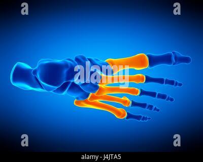 Abbildung der Mittelfußknochen. - Stockfoto