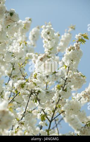 Mandelbaum, Zweige, Blüten, Himmel, blau, Baum, Blüte, Zeitraum von ...