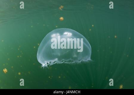Unterwasser-Aufnahme, Ohr Quallen, Aurelia Golden,