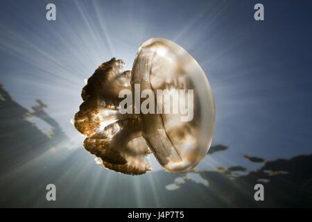 Unterwasser-Aufnahme, Mastigias-Display Bildschirm Quallen Mastigias Papua Etpisonii, Gegenlicht, Stockfoto