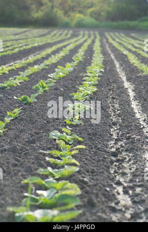 Nahaufnahme der Kartoffel Sämlinge in Reihen gepflanzt. - Stockfoto