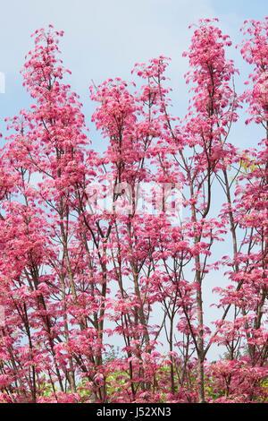 "Toona Sinensis 'Flamingo'. Chinesische ""Flamingo"" Mahagonibaum mit rosa Blätter im Frühjahr - Stockfoto"