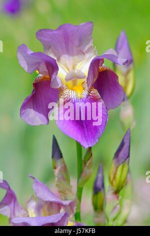 Nahaufnahme der Iris Blume (Iris sp.). - Stockfoto