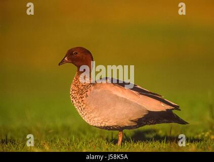 Australische Wood Duck oder Mähne Ente, Chenonetta Jubata, New-South.Wales, Australien - Stockfoto