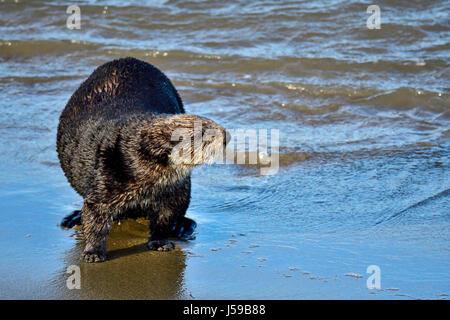 Kalifornien Sea Otter - Stockfoto
