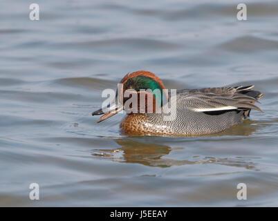 gemeinsamen Krickente (Anas Vogelarten) Erwachsene männlich oder Drake schwimmen auf Wasser, Cley, Norfolk, England, - Stockfoto