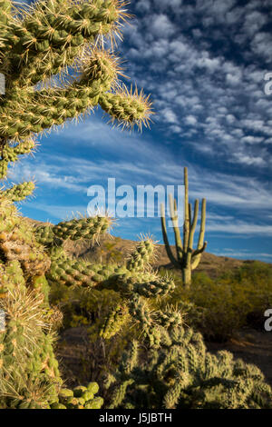 Tucson, Arizona - Cholla und Saguaro Kaktus in der Kaktus-Wald im Rincon Mountain Bezirk der Saguaro National Park. - Stockfoto